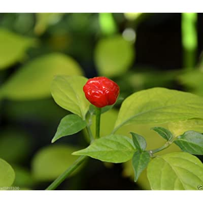 "10 BOD'E Hot Pepper Seeds - A tiny pepper from Brazil ""VERRY HOT"" Fruity flavor : Garden & Outdoor"