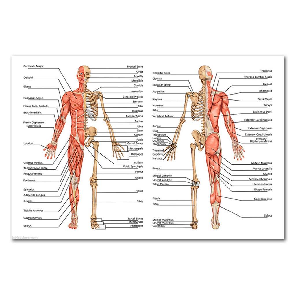 Skeletal Respiratory Digestive WDTong Anatomical Skeletal Muscle Teaching Poster Set Laminated 19.6X27.5 Muscular