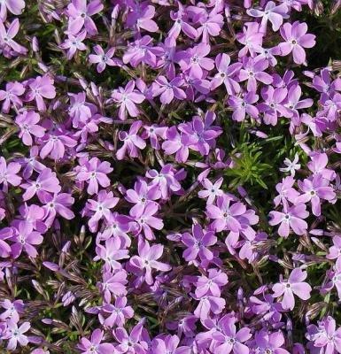 Classy Groundcovers - Phlox 'Purple Beauty' Creeping Phlox, Moss Phlox {25 Pots - 3 1/2 in.} by Classy Groundcovers (Image #5)