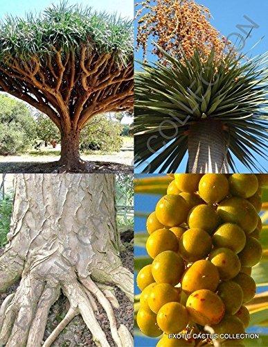 Dracaena draco, rare Dragon's Blood Tree Canary Island palm bonsai seed 10 SEEDS