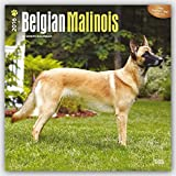 Belgian Malinois 2016 Square 12x12 (Multilingual Edition)
