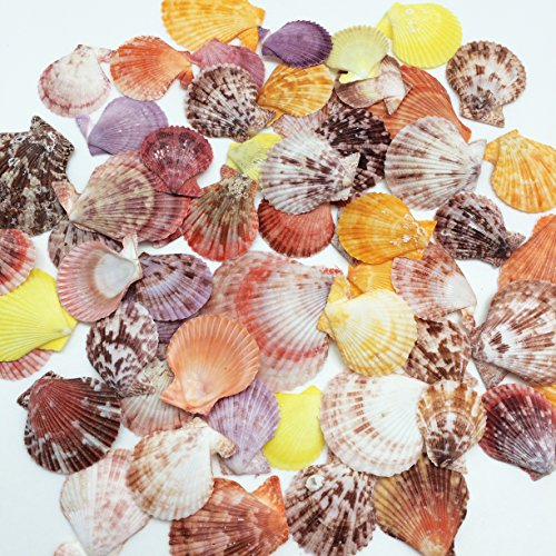 PEPPERLONELY 50 PC Pecten Colorful Scallop Sea Shells , 1-3/4 Inch ~ 2-1/2 - Scallop Gold Shell Sea