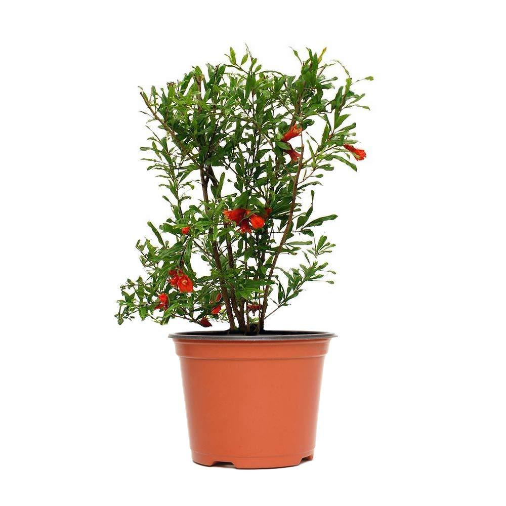 AMERICAN PLANT EXCHANGE Dwarf Pomegranate Bush Indoor/Outdoor Air Purifier Live Plant, 6'' Pot, Fruit Producing!