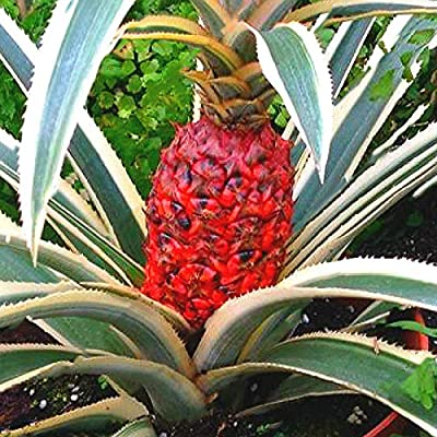 Pineapple Seeds Dwarf Pineapple Plantas Tree Fruit Rare Bonsais Plant Bonsai for Home Garden Decoration 100 Pcs : Garden & Outdoor