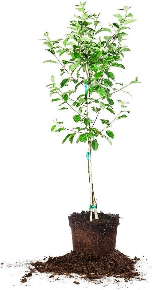 Anna Apple Tree - Size: 5-6 ft, Live Plant, Includes Special Blend Fertilizer & Planting Guide