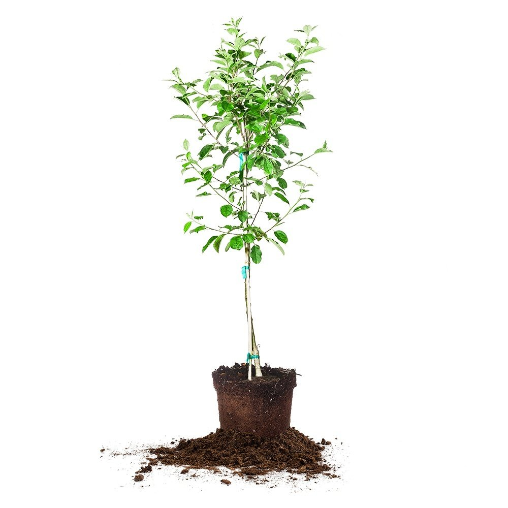 RED DELICIOUS APPLE TREE - Size: 5-6 ft, live plant, includes special blend fertilizer & planting guide by PERFECT PLANTS
