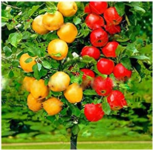 30PCS Apple Tree Seeds Dwarf Bonsai Apple Tree Seeds Mini Fruit for Home Garden Planting Perennial Potted Plant Seeds