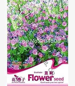 FD1692 Blue Thistle Flower Echium Agineum Garden Flower Seed ~1 Pack 50 Seeds ~
