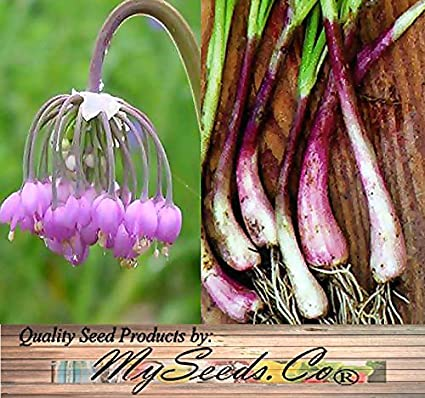 Amazon nodding pink onion flower seeds allium cernuum nodding pink onion flower seeds allium cernuum edible perennial cold hardy zones 3 mightylinksfo