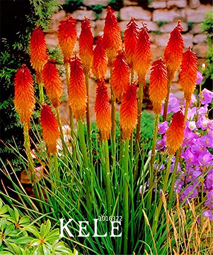Big Promotion!100 PCS/Lot Kniphofia Flower Seeds red hot pokers-plants So Pretty Long Blomming fiery-hued flowers light,#XBGR