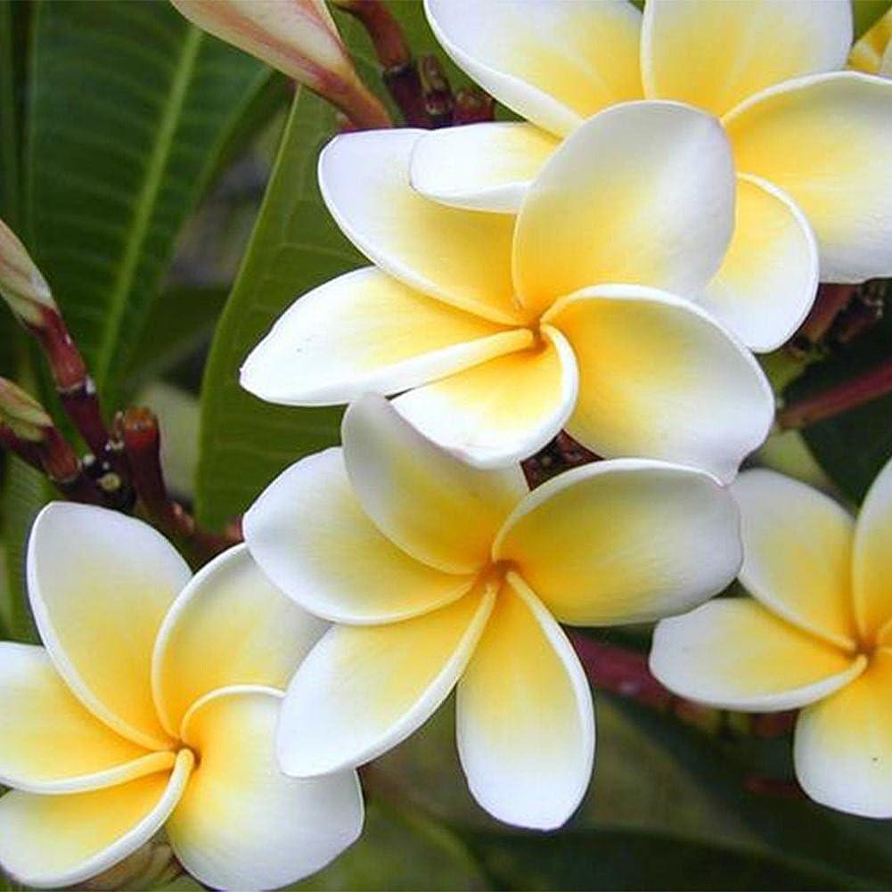 Plumeria Rubra Frangipani Hawaiian Lei Plantas de jard/ín WuWxiuzhzhuo
