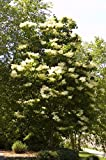 Lilac Ivory Silk >Syringa reticulata 'Ivory Silk' >Landscape Ready 5 gallon Co...