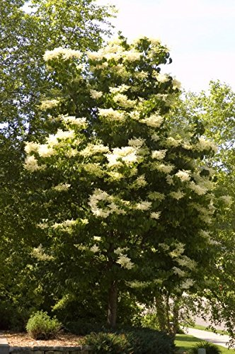 Lilac Ivory Silk >Syringa reticulata 'Ivory Silk' >Landscape Ready 5 gallon Co... by Grimm's Gardens