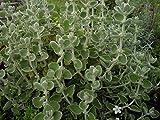 4 Bare Root of Ballota Pseudodictamnus - Mediterranean Mint