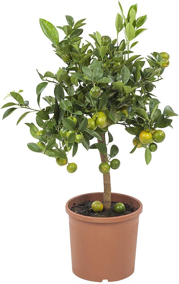 Planta de fruta de Botanicly – Naranja Calamondín – Altura: 75 cm ...