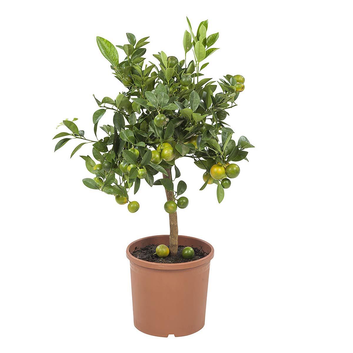 BOTANICLY | Plantes vertes d intérieur – Calamondin ou oranger d'appartement | Hauteur: 75 cm | Citrus Microcarpa
