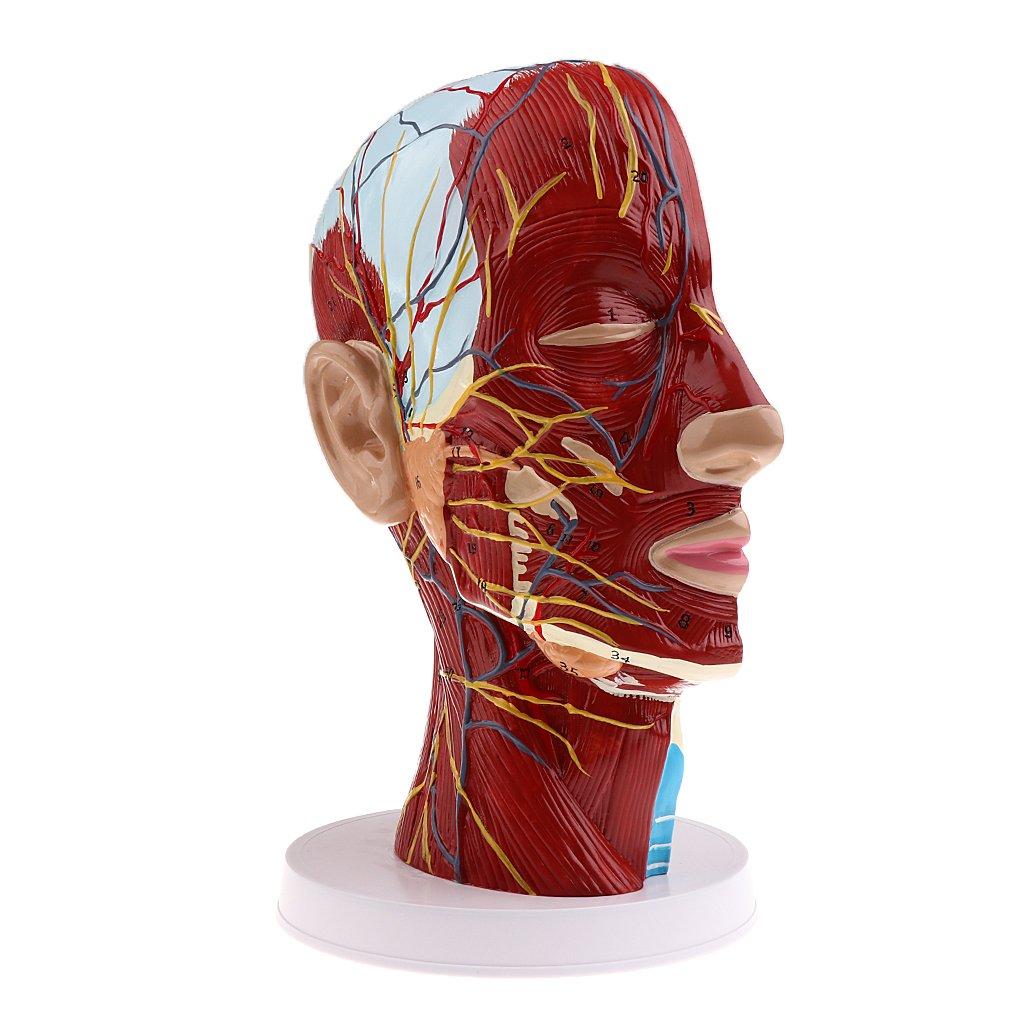 MagiDeal Superficial Median Sagittal Plane Of Head Model For Teaching And Presenting