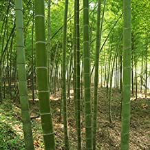 100pcs/bag Giant Moso Bamboo Seeds Moso Bamboo Tree Seeds Home Garden Courtyard Bamboo Seed