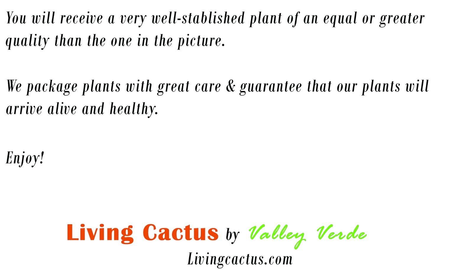 Live Saguaro Cactus Living Cactus.com - Carnegiea gigantea