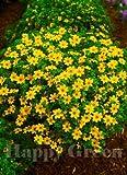 Bur Marigold - GOLDEN EYE - 80 SEEDS - Bidens Aurea - Hanging basket variety