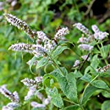 Outsidepride Peppermint Herb Plant Seeds - 5000 Seeds