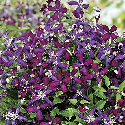 Sweet Summer Love Clematis - Fragrant/Long Blooming - 4