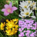 Pink, Yellow, and White Rain Lily Bulbs Zephyr Lilies - Zephyranthes Tiny Magic Sampler - 48 Large Flower Bulbs- Ships from USA