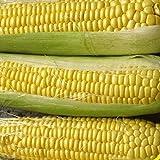 bulk corn seed - 100 Bodacious Hybrid Sweet Corn Seeds - Gold Vault Jumbo