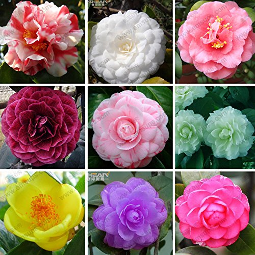 11 Kinds of Categories Camellia Seeds Potted Plants Garden Flower Seeds Plants Common Camellia Seeds a Pack 100 Pcs