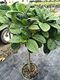 Gardenia taitensis, Tahitian Gardenia - Bush - 3 Gallon Live Plant - 4 pack