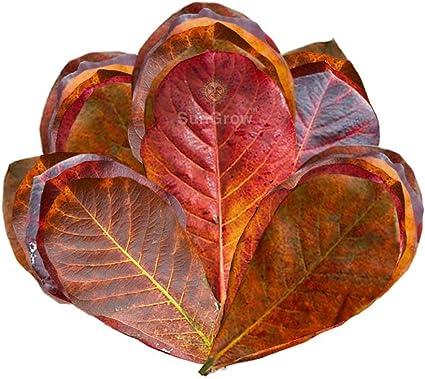 Tantora Premium Grade Catappa Leaves XL 18-30cm Indian Almond Leaf