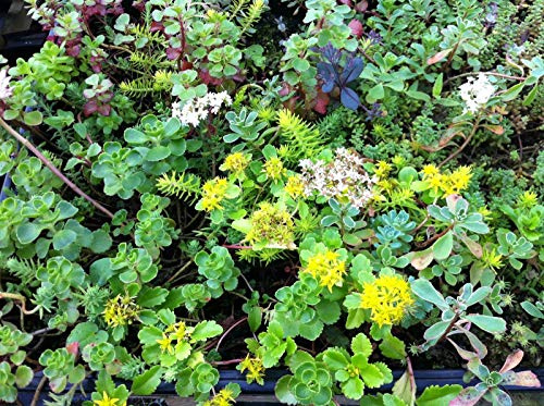 200 Sedum Mixed Stone Crop Seeds, Green Roofs, rockeries, Paths, Walls ect