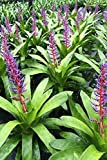 Aechmea Del Mar (P) Bromeliad, Patented Rare Elegant Hybrid Tropical Plant (State Restrictions Apply), 6 Pack (6in Pot, Live Plant) houseplant