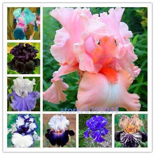 BeeSpring Hot Sale 100pcs iris seeds,Iris orchid seeds,Rare Heirloom Tectorum Perennial Flower Seeds,24 colours to choose,plant for home gatden