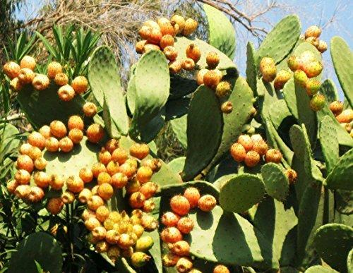 nopalea cactus juice - 8