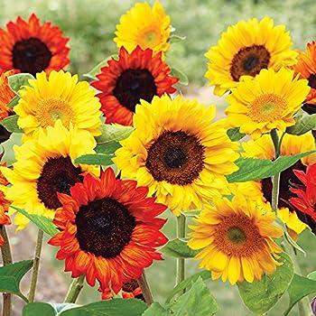 Amazon Com Sunflowers Mat Grow Sun Flower Garden