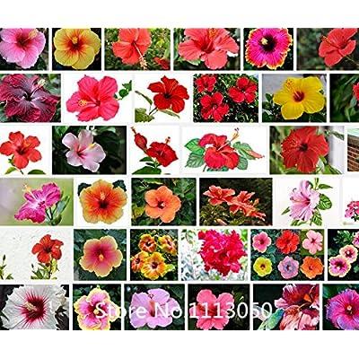 Promotion 100 Géant Hibiscus Graines de fleurs Graines Hardy, Mix ...