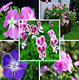 Sale! 100 Periwinkle seeds , Mix Color Vinca (Catharanthus roseus) , a perfect bank cover behind your house, evergr