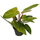 """Painted Lady Philodendron 6"""" Pot - Easy to Grow House Plant"""