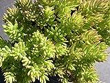 500 Seeds Sedum Autumn joy stonecrop Gold Moss Worm Grass Ice succulent Plant Flower