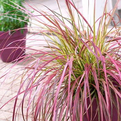 Variegated Purple Fountain Grass Fireworks