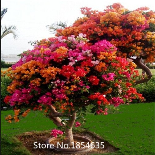 Garden Plant 100 Mix-color Bougainvillea spectabilis tree Seeds bonsai plant flower seeds Blooming Plants Plants Sementes De Flo