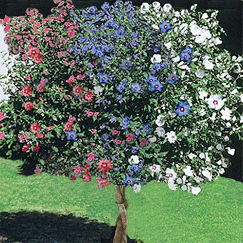 1 Rose of Sharon Tree, 3-N-1 Different Colors Plant Blast of Color Unique 1-2ft M4 (Blue Rose Of Sharon)
