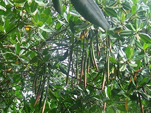 Rote Mangrove Rhizophora mangle Pflanze 25-30cm Mangrovenbaum Rarit/ät