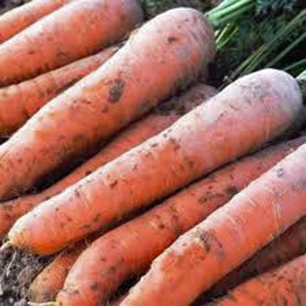 Carrot Scarlet Nantes Non GMO Heirloom Sweet Crunchy Vegetable 100 Seeds by Sow No GMO®
