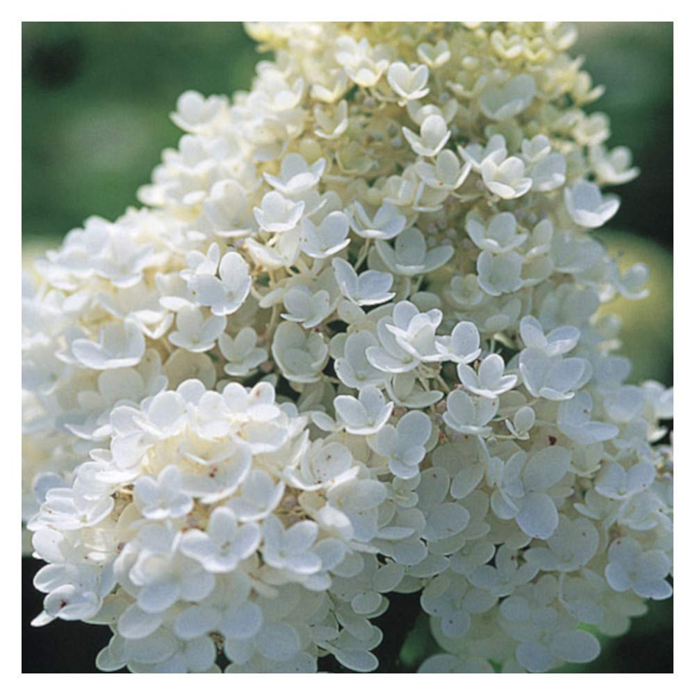 'Pee Gee Snowball Hydrangea Healthy Established Roots - 1 Gallon Potted -1 Plant by Growers Solution