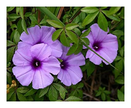 Amazon com: Ipomoea cairica - Morning Glory - 10 Seeds