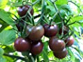 30+ Organically Grown Black Cherry Tomato Tomato Seeds, Heirloom Non-GMO, Low Acid, Indeterminate, Open-Pollinated, Sweet, Productive, from USA
