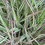 Phalaris arundinacea Variegated Ribbon Grass 2 Starter Plants