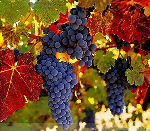 Rare French Cabernet Sauvignon Grape Bush Seeds, Grape Wine Tasty Fruit ()